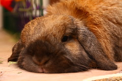 Flopped Flopsy ! (Mark Philpott) Tags: pet pets house rabbit bunny bunnies snuggle furry blu fluffy rabbits loved mumble flopsy