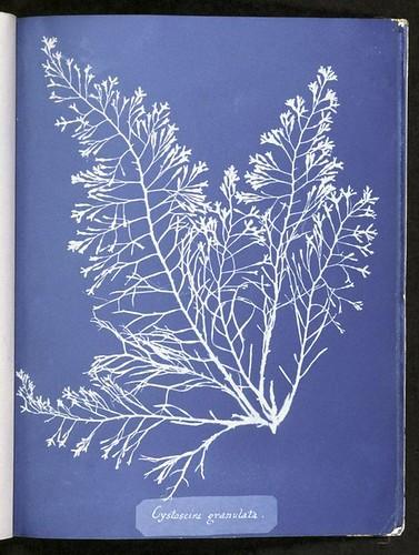 Cystoseira granulata.
