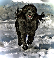 Wild Wind and Dark Shadows (ebonique2007) Tags: dog black blackdog poodle soe bestinshow standardpoodle blueribbonwinner otw ebbie bej blackstandardpoodle mywinners abigfave anawesomeshot isawyoufirst theunforgettablepictures everydayissunday proudshopper perfectphotographer awesomepictureaward goldsealofqualityaward overtheshot damniwishidtakenthat dragondaggerphoto