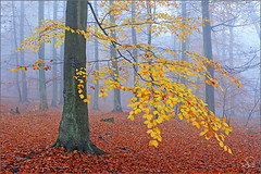 foggy morning (Sandra Bartocha) Tags: tree fall nature fog forest germany mv mecklenburg mecklenburgvorpommern beeches mecklenburgwesternpommerania mritznationalpark trueessence wildwondersofeurope csandrabartocha wwwbartochaphotographycom
