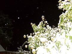 snowy tree (dandavie) Tags: winter sky snow cold tree nature leaves night bush snowy flakes
