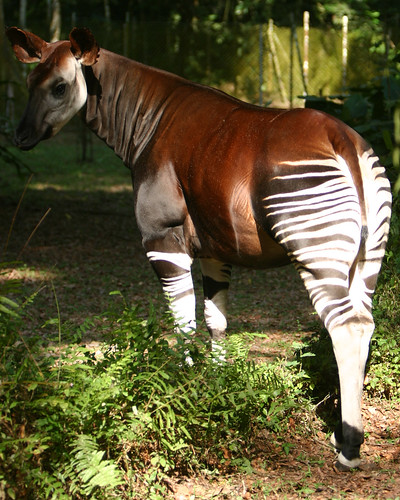 okapi at the Okapi Reserve headquarters