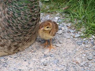 Junger Pfau - Peacock Baby