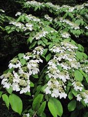 Viburnum mariesii (wallygrom) Tags: england westsussex caprifoliaceae ferring adoxaceae highdowngardens a259 may2011