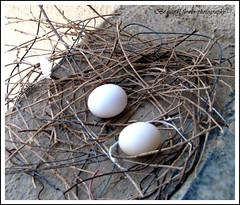 Dove eggs (Beautiful flower*) Tags: moon white bird window eclipse nest dove eggs brood