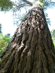 """Pinus Radiata """"Monteray Pine"""" • <a style=""""font-size:0.8em;"""" href=""""http://www.flickr.com/photos/61957374@N08/5849768341/"""" target=""""_blank"""">View on Flickr</a>"""