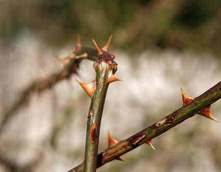 Thorns Crop #2?