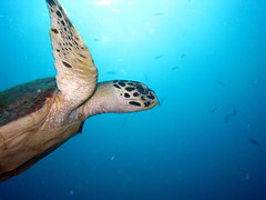 A Handsome Hawksbill Turtle posing for this shot