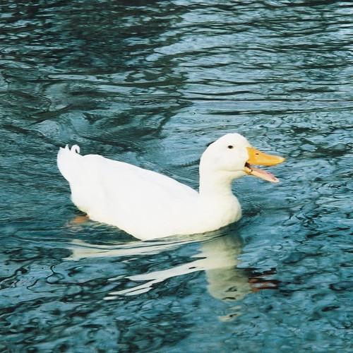 Quacking #4