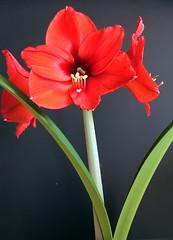 Amaryllis ( tournesols) Tags: flowers red flower beautiful blossom petal amaryllis bloom excellence amarillis petaled masterphotos amarillisz unlimitedphotos