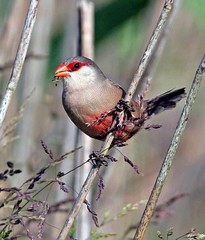 Bico-de-lacre/ Common Waxbill  (Estrilda astrild) (Rosa Gamboias/ on vacation) Tags: fab bird portugal nature birds wildlife natureza pssaro aves ave pssaros soe oiseau bidos oiseaux vidaselvagem commonwaxbill estrildaastrild blueribbonwinner bicodelacre ornitologia mywinners abigfave goldstaraward