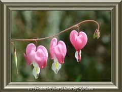 FBI- P1820846+7 TRIPLE HEARTS (Frozen in Time photos by Marianne AWAY OFF/ON) Tags: pink flowers nature hearts bokeh fbi bleedinghearts