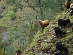Sure footed (asis k. chatt) Tags: nature animal himalayas naturephotography naturalharmony naturewatcher earthitsincredibleanimals
