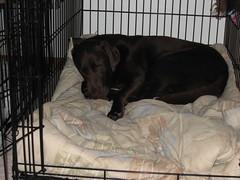 Cheyenne sneaking a nap in Dakota's bed