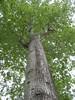97.05.22平和國小吉貝木棉老樹DSCN0631