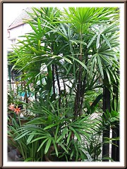 Potted Rhapis excelsa (Lady Palm) at our backyard
