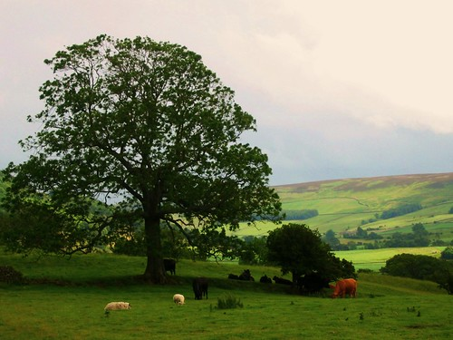 Pastoral Swaledale Scene near Reeth, Yorkshire