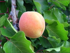Nearly ripe Blenheim Apricot