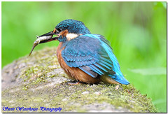 MALE KINGFISHER (500 MM LENS HAND HELD) LOW LIGHT , CROPPED (spw6156) Tags: copyright steve cropped waterhouse digitalcameraclub malekingfisher500mmlenshandheldlowlight spw6156 stevewaterhouse copyrightstevewaterhouse