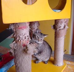 detonado! (sosgatinhos) Tags: pet cats love cat furry kitten feline chat kittens gatos gato felino neko shelter katz adoption adoo peludo adote abrigo animalwelfare catlover sosgatinhos