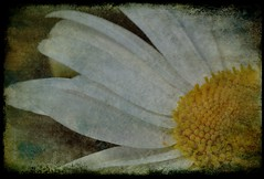 A small step today is a mile in the future (Kirsten M Lentoft) Tags: flower garden daisy hugs textured youmademyday abigfave momse2600 infinestyle mmmuuahhhh lotsofxsandos thetempleofaphrodite kirstenmlentoft