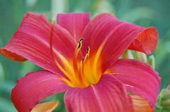 Red - Orange Lily