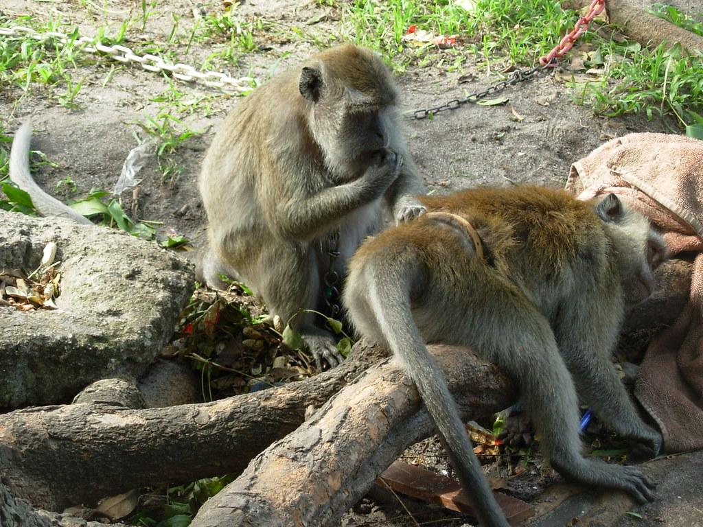 Langkawi- Singes (8)