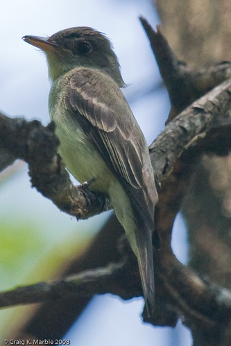 Eastern Wood Pewee (cropped) (1 of 1)