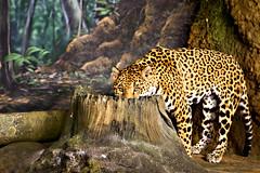 Looking Leopard