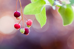 Berry Bokeh (Kerfuffle~) Tags: nature fruit berry berries o bokeh 90mm fp serviceberry tamron90mm shallowdof sugarplum amelanchier interestingness3 hbw juneberry natureycrap photofaceoffwinner pfogold happybokehwednesday
