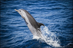 Wowwww !!!!! (Spirit photos) Tags: ocean blue sea mer dolphin martinique awesome dauphin westindies grandbleu anawesomeshot