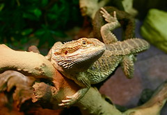 Happy Birth Day To    (mohammadali) Tags: pet pets animal dragon dragons lizard exotic lizards bearded beardies beardeddragon animalia pogona  marmolak exoticpets