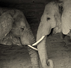Elephant friendship