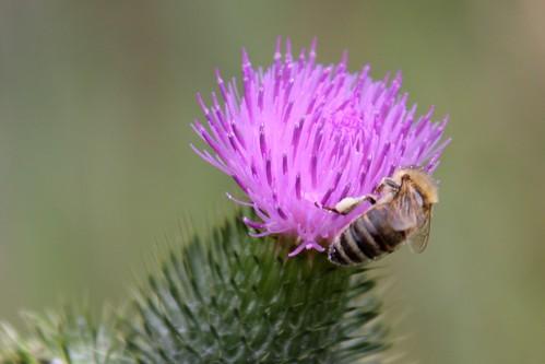 Biene auf Distel 1