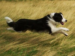 Flying Again... (meg price) Tags: summer dog pet co speed fun fly collie play border run bordercollie barney supershot mywinners abigfave platinumphoto theunforgettablepictures goldstaraward grouptripod winnerbc magicunicornverybest