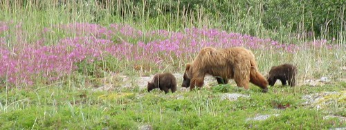 grizzlycubsblur