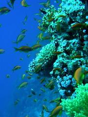 Arrecife de coral. Aqaba (Jordania) (copepodo) Tags: coral fauna redsea diving jordan reef aqaba buceo jordania arrecife submarinismo marrojo acuarios pecesypaisajismomarino