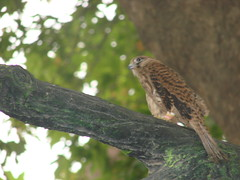 Hawk/ (BeHiNaZ) Tags: tree bird animal animals iran hawk shahin  khorasan    neyshaboor neyshabour  neyshabur    khorasanrazavi   khorasanerazavi darrood darroud darrud