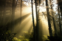 Pacific Coastal Forest in Fog with Sunbeams (David M Hogan) Tags: morning misty fog forest landscape pacific scenic coastal sunbeams godbeams davidhogan