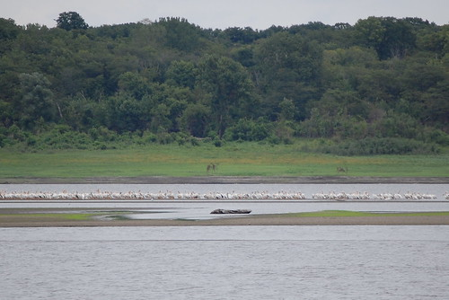 Pelicans at Saylorville Lake, Iowa