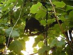 Equilibrismi (Gaslight Spirit) Tags: cat scarlet uva gatto grape blackcats vite equilibrio gattonero