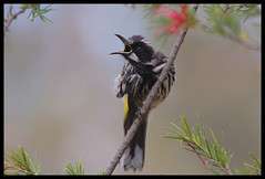 New Holland Honeyeater, ANBG, 17.9.08 (Callocephalon Photography) Tags: bird australia honeyeater canberra screaming soe botanicgardens scratching birdwatcher newhollandhoneyeater naturesfinest phylidonyrisnovaehollandiae 17908 anbg specanimal abigfave neckscratching platinumphoto aplusphoto avianexcellence flickrdiamond betterthangood theperfectphotographer goldstaraward onehandedsalute