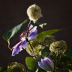 Afternoon sunlight through clematis (louisahennessysuou) Tags: sunlight garden afternoon purple clematis oldmansbeard latesummer thebestofday gnneniyisi flickrbestpics auniverseofflowers bestflickrphotography