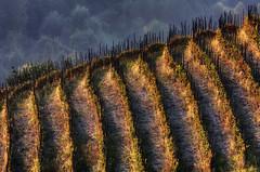 amo la stanca stagione che ha gi vendemmiato (bluestardrop - Andrea Mucelli) Tags: autumn italy fall vineyard italia vine piemonte autunno soe grapevine vite gmt vigneto vigna provinciadicuneo piedomont theunforgettablepictures monregalese
