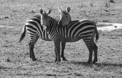 Not Separated at Birth (Sharman Images (Dave Sharman)) Tags: africa bw animals kenya zebra zebras