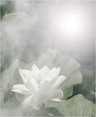 flower / white flower / White / White Lotus Flower @ Sun Rise / green / background / - IMG_3746 -  , , ,  , Fleur de Lotus, Lotosblume, ,  (Bahman Farzad) Tags: summer white flower macro green nature beauty yoga fog sunrise whiteflower leaf colorful lotus  lotusflower lotusflowers lotuspetal  lotuspetals  lotosblume fleurdelotus    lotusflowerpetals lotusflowerpetal whitelotusflowerinthesun