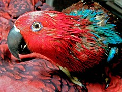 Look,mom, I'm clean... (sasithorn_s) Tags: pet parrot soe eclectus cubism blueribbonwinner passionphotography golddragon mywinners worldbest platinumphoto anawesomeshot ultimateshot goldstaraward rubyphotographer vosplusbellesphotos