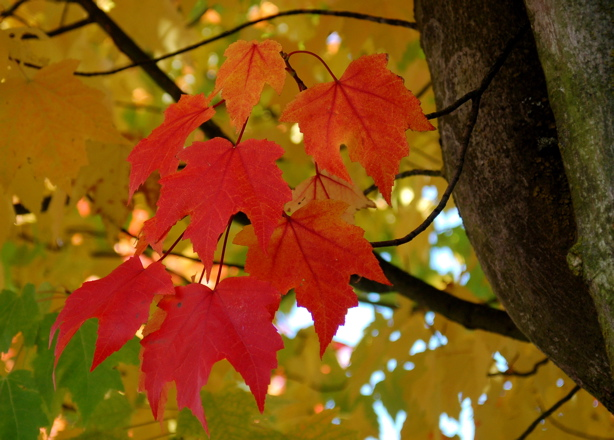 autumn_blaze_leaves_2008