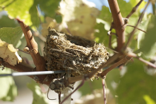 Found this tiny birds nest in the Cabernet. Makes me happy to think such a tiny bird would feel safe only a few feet off the ground. Guess those biodynamics principles are working!
