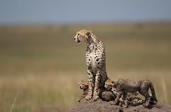 8. Shakira & Cubs (Lyndon Firman) Tags: africa searchthebest kenya bbc cubs shakira masaimara acinonyxjubatus impressedbeauty theunforgettablepictures bigcatlive